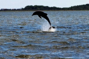 Dolphin jump and play on the Outer Banks
