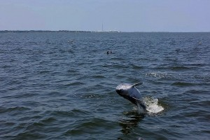 Dolphin often play while swimming next to the Kokomo