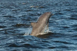 Dolphin love playing in the Outer Banks waters