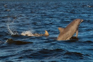 Dolphin in the Roanoke Sound