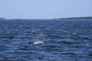 Dolphin tales slapping the water