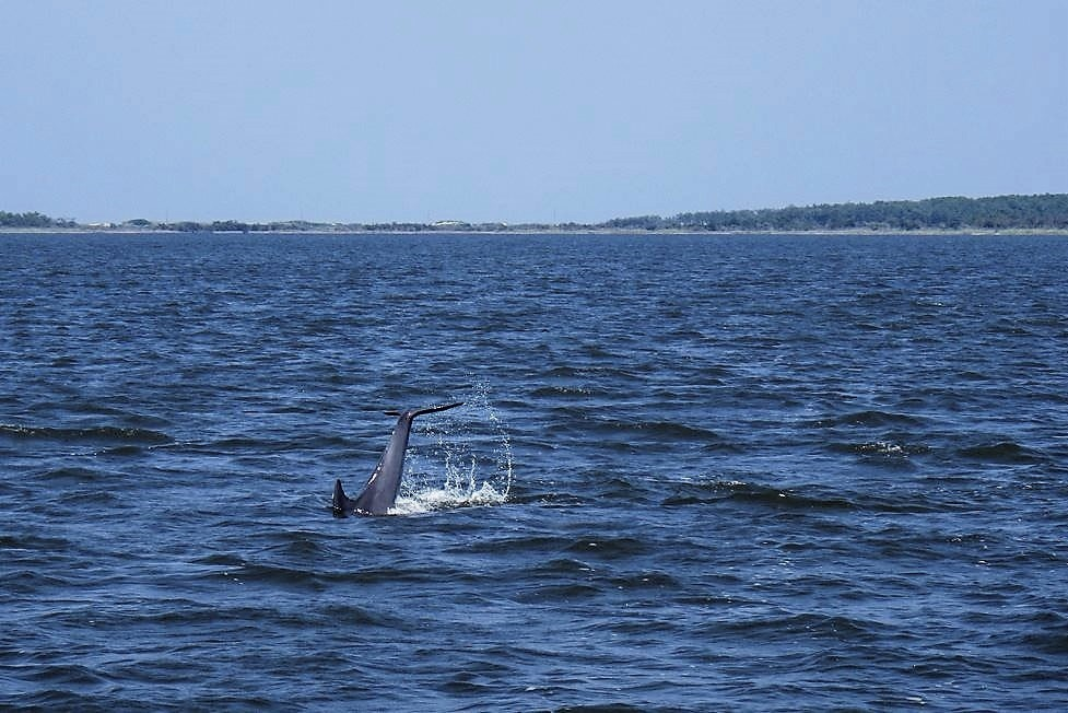 Paradise Dolphin Tours Outer Banks Nc