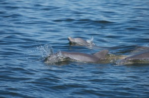 Atlantic Bottlenose Dolphin schools