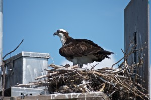 Osprey Sighting on the Outer Banks from the Kokomo