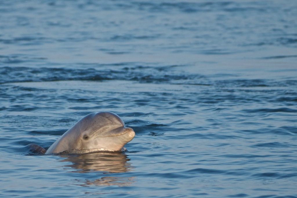 Dolphin Watch Tours Manteo Nc